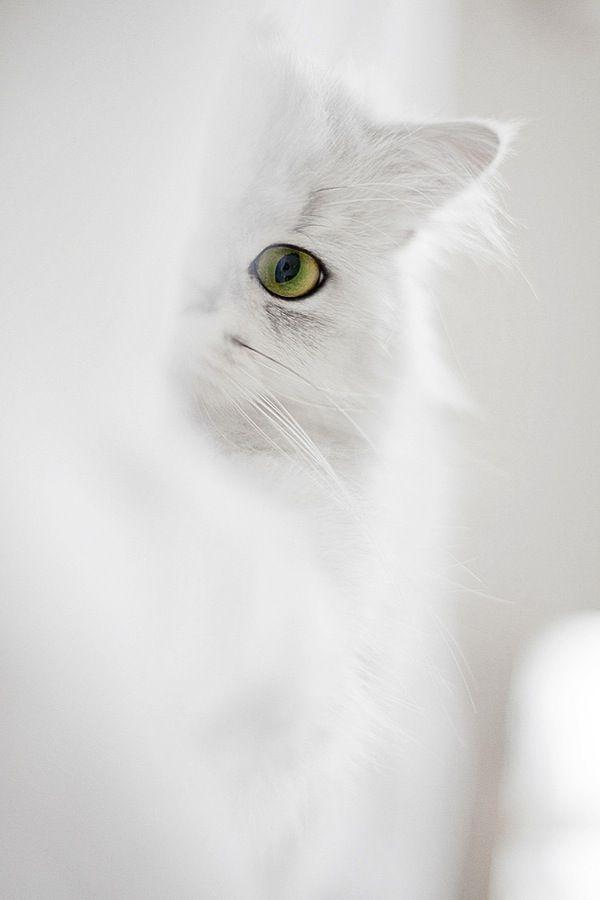 Wedding - White Cat